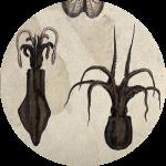 Sanders Octopus